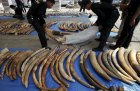 Customs officers arrange confiscated elephant tusks before a news conference at the customs department in Bangkok